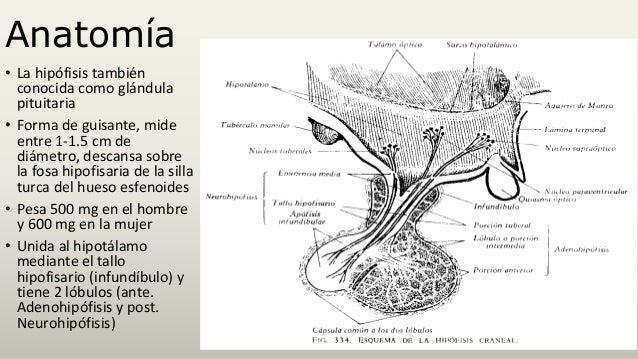 ANATOMIA Y FISIOLOGIA DE LA HIPOFISIS