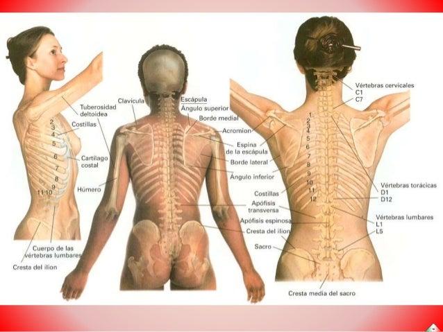 Anatomía esencial humana: Huesos