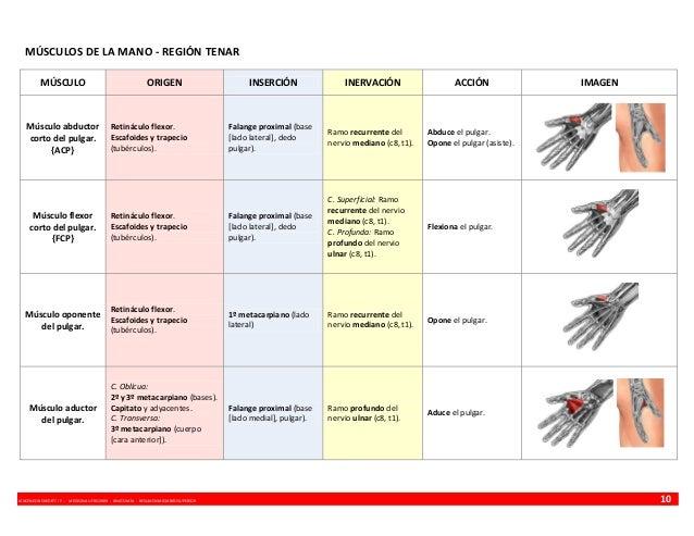 MÚSCULOS DE LA MANO - REGIÓN TENAR MÚSCULO  Músculo abductor corto del pulgar. {ACP}  ORIGEN  Retináculo flexor. Escafoide...