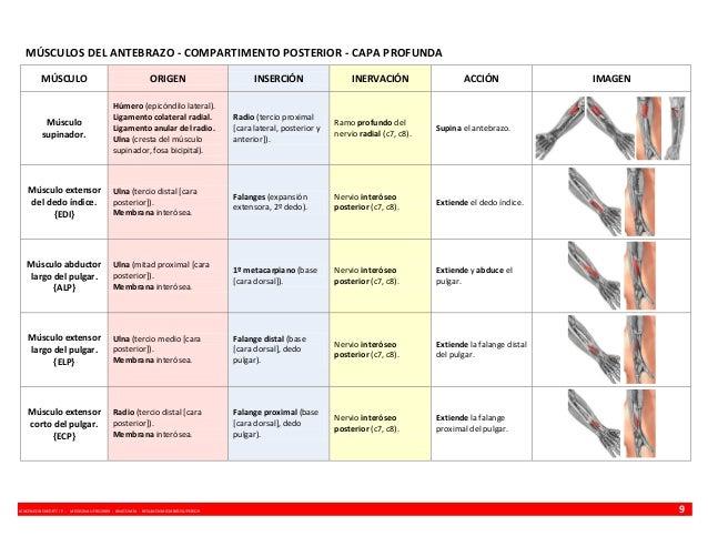 MÚSCULOS DEL ANTEBRAZO - COMPARTIMENTO POSTERIOR - CAPA PROFUNDA MÚSCULO  ORIGEN  INSERCIÓN  INERVACIÓN  ACCIÓN  Húmero (e...
