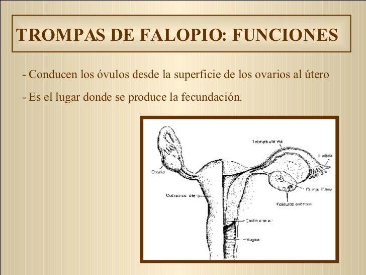 TROMPAS DE FALOPIO: FUNCIONES - C onducen los óvulos desde la superficie de los ovarios a l ú ter o   - Es  el lugar donde...
