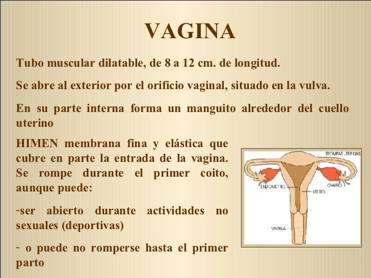 VAGINA <ul><li>HIMEN membrana fina y elástica que cubre en parte la entrada de la vagina. Se rompe durante el primer coito...