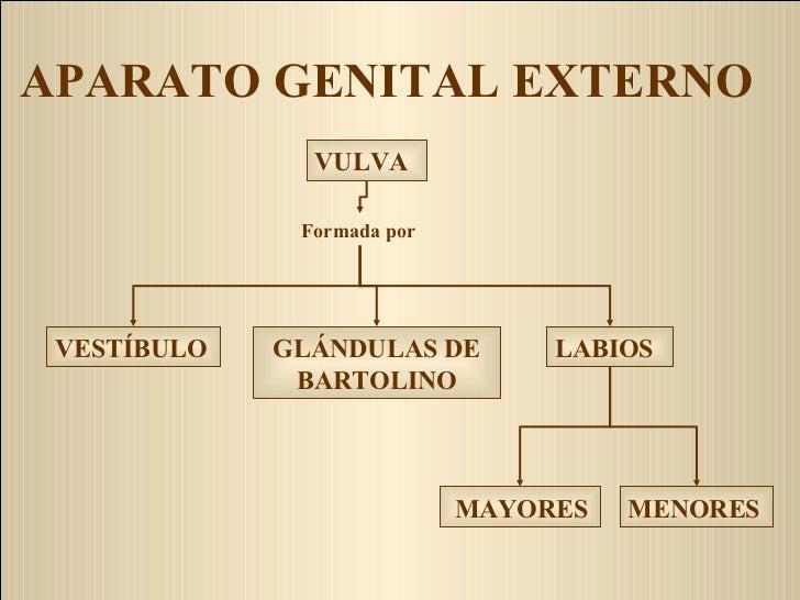 APARATO GENITAL EXTERNO VESTÍBULO GLÁNDULAS DE BARTOLINO MENORES MAYORES   LABIOS Formada por VULVA