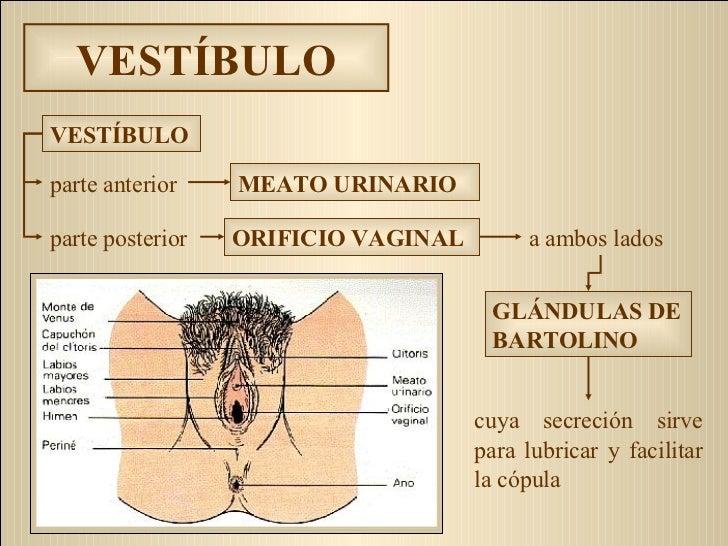 VESTÍBULO cuya secreción sirve para lubricar y facilitar la cópula MEATO URINARIO parte anterior parte posterior ORIFICIO ...