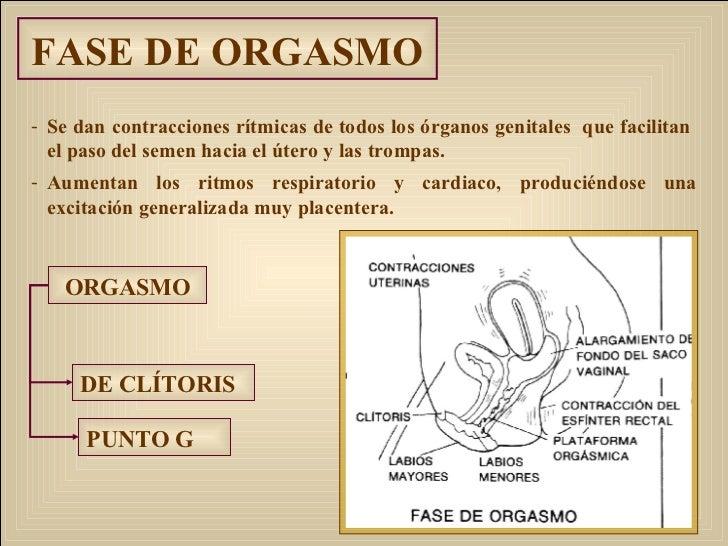 FASE DE ORGASMO <ul><li>Se dan contracciones rítmicas de todos los órganos genitales  que facilitan  el paso del semen hac...