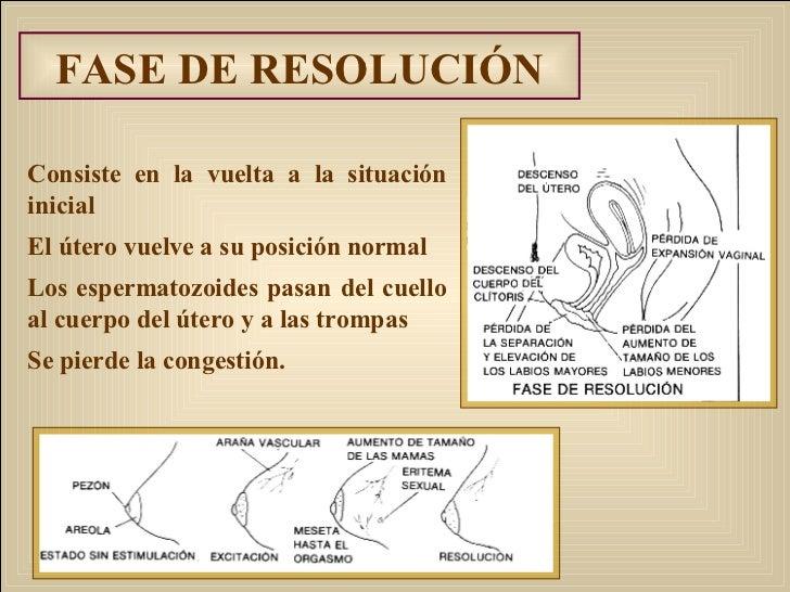FASE DE RESOLUCIÓN Consiste en la vuelta a la situación inicial El útero vuelve a su posición normal Los espermatozoides p...