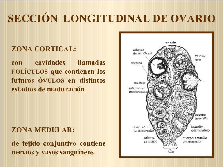 SECCIÓN  LONGITUDINAL DE OVARIO ZONA CORTICAL: con cavidades llamadas  FOLÍCULOS  que contienen los futuros  ÓVULOS  en di...