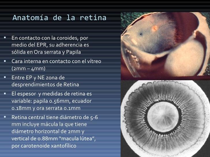 Anatomía basica de la retina