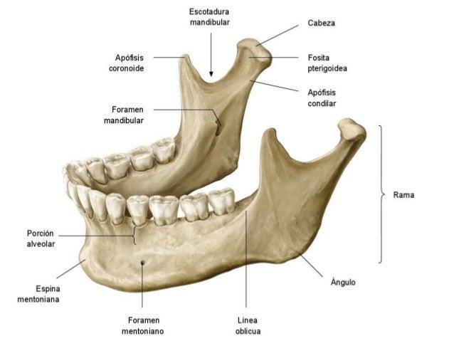 Anatomía clínica de los huesos del cráneo.