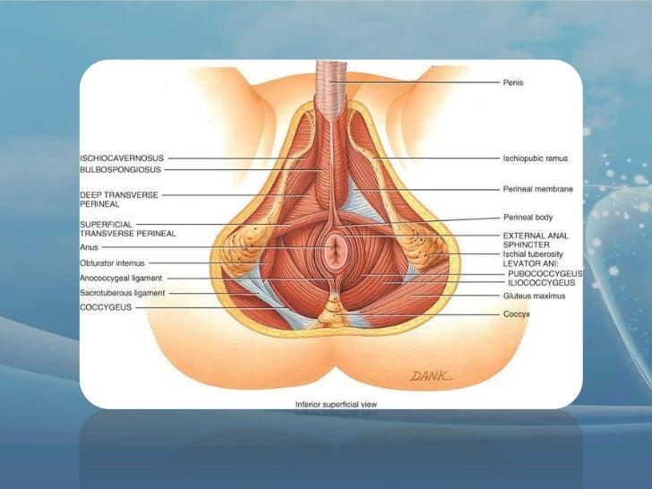 Anatomía colon ano y recto