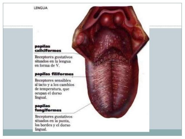 Anatomía de la boca y faringe