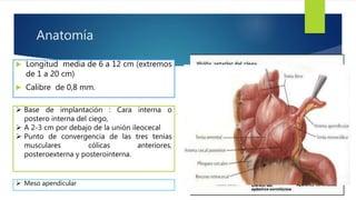 Anatomia Apendice Pdf