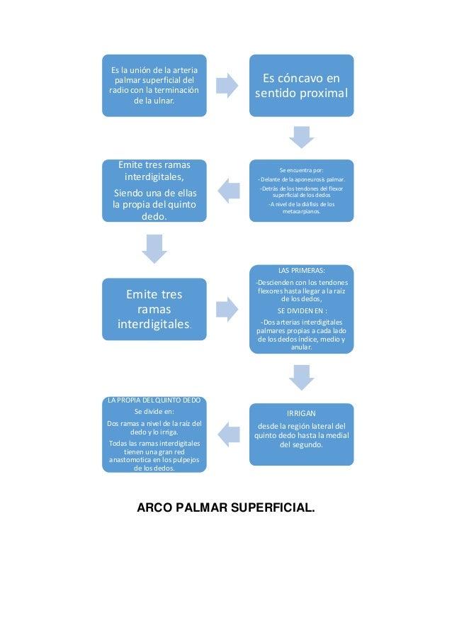 Arcos Palmares, Arcos Plantares, Anatomía.