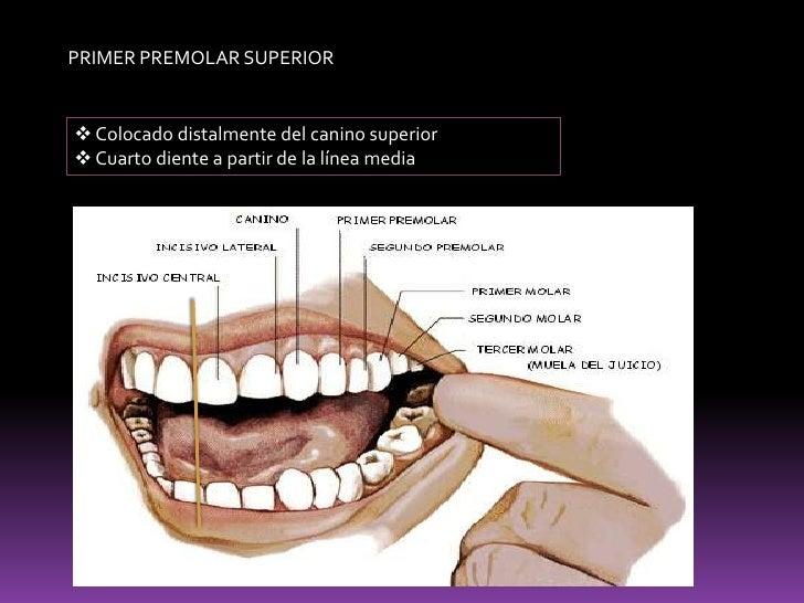 Anatomía de dientes posteriores