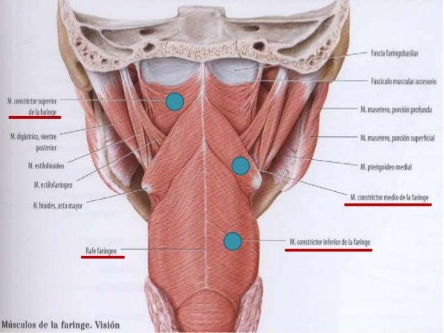 Anatomía de faringe