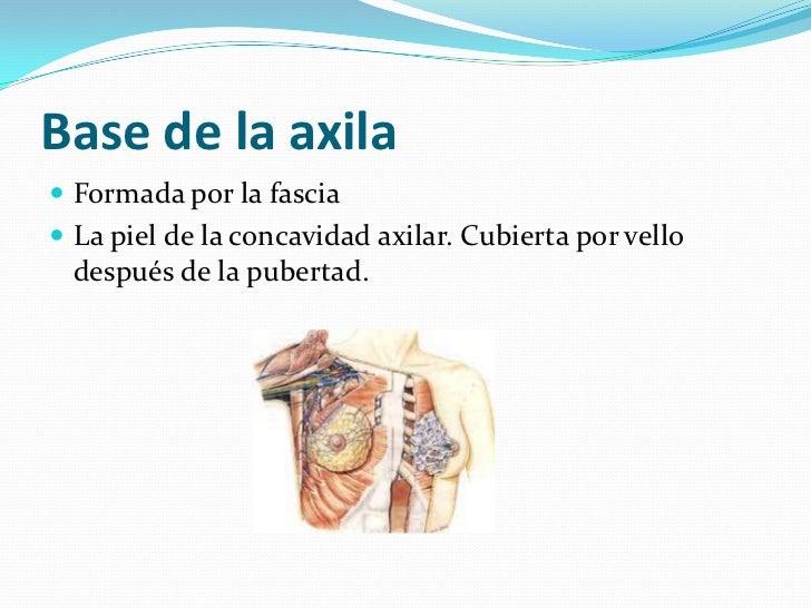 Anatomía de la axila