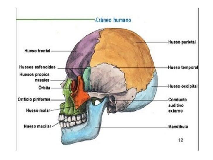 Único Los Huesos De La Cabeza De Anatomía Patrón - Anatomía de Las ...
