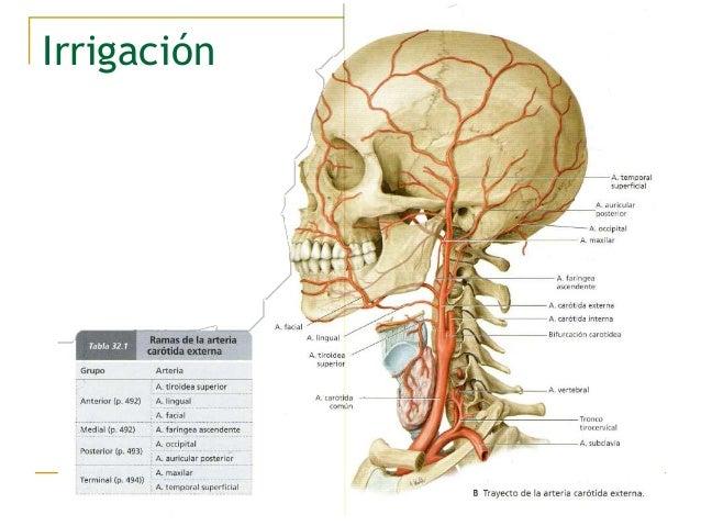 Anatomía de la cara