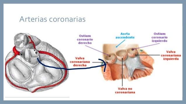 Anatomía de la circulación arterial y venosa coronaria