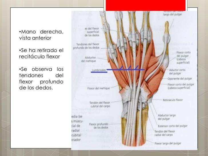 Anatomía de la palma y los dedos