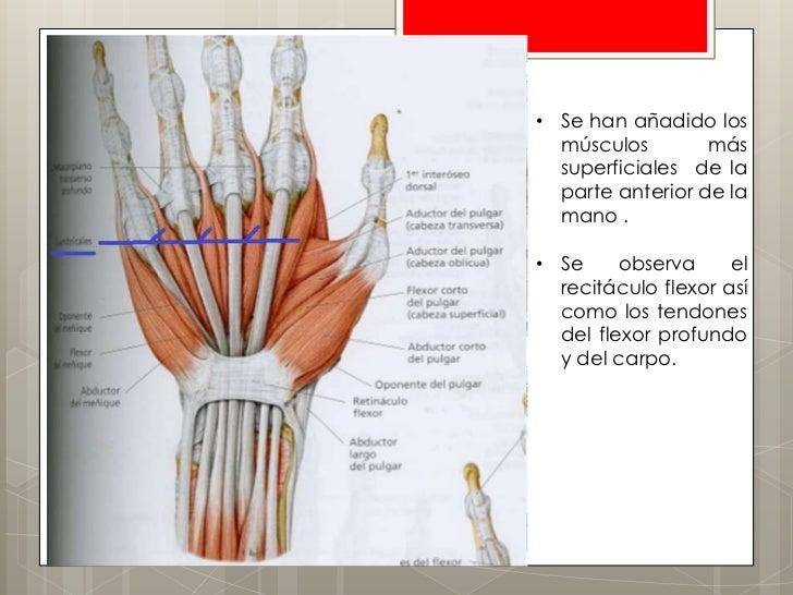 Anatoma de la palma y los dedos