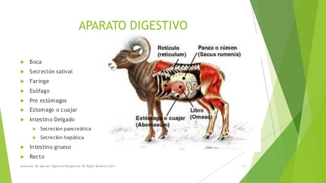 Anatomía del aparato digestivo poligástrico