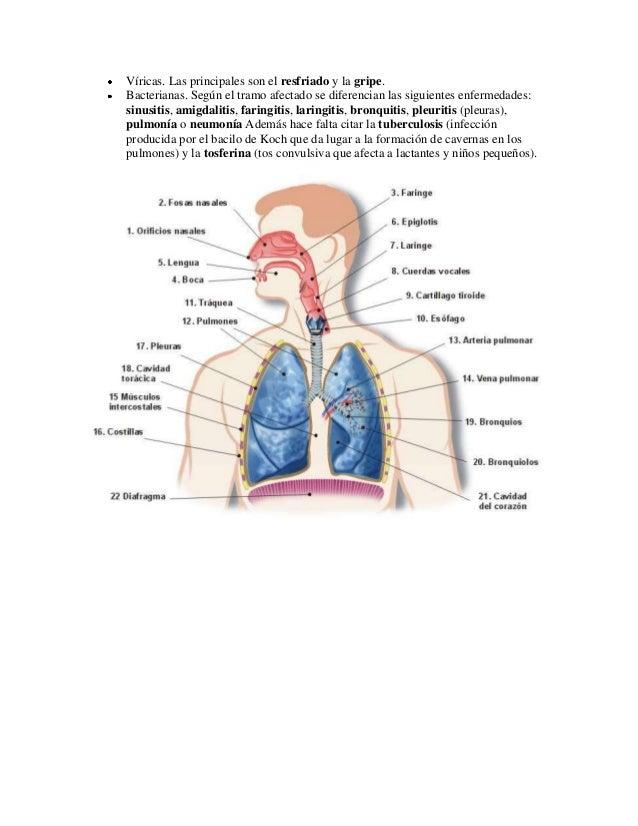 Excepcional El Sistema Respiratorio Toma Nota De La Anatomía Y ...