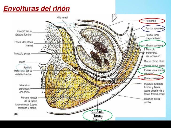 Envolturas del riñón                       Cápsula                       fibrosa                        (renal)