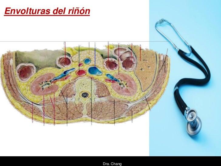 Envolturas del riñón                       Dra. Chang