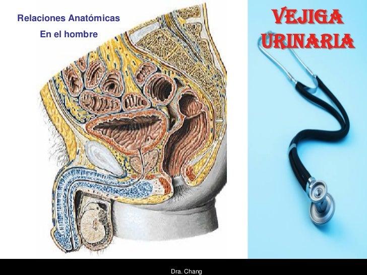Relaciones Anatómicas                 VEJIGA    En el hombre                                     URINARIA                 ...