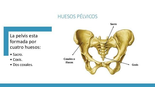 Anatomía de la pelvis femenina (Obstetricia)