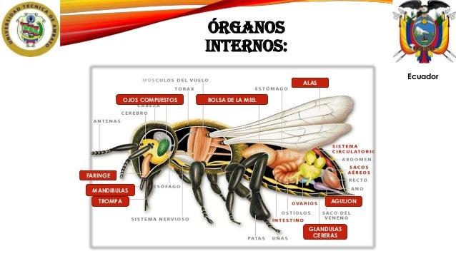 Anatomía de las abejas