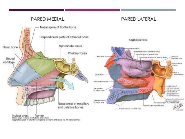 Anatomía de las fosas nasales y los senos paranasales