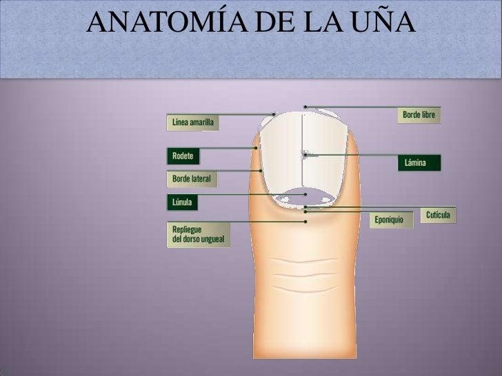 Anatomía de la uña (2)