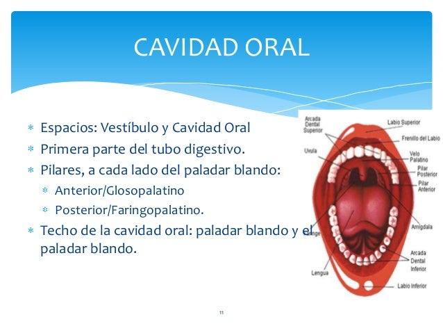 CAVIDAD ORAL 11 Espacios: Vestíbulo y Cavidad Oral Primera parte del tubo digestivo. Pilares, a cada lado del paladar blan...