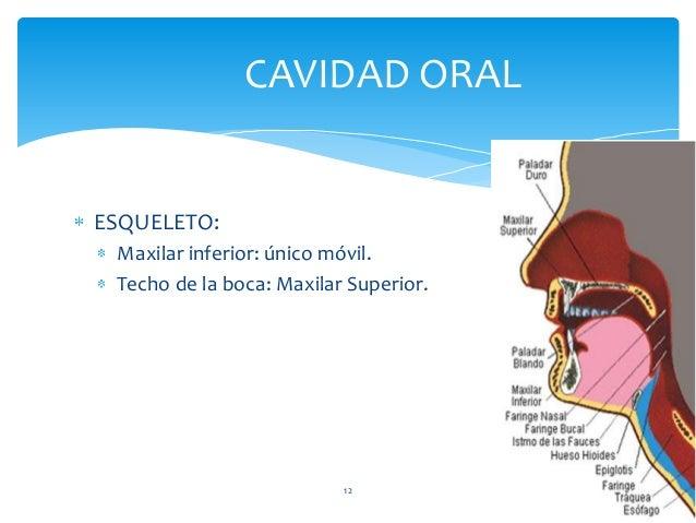 ESQUELETO: Maxilar inferior: único móvil. Techo de la boca: Maxilar Superior. CAVIDAD ORAL 12