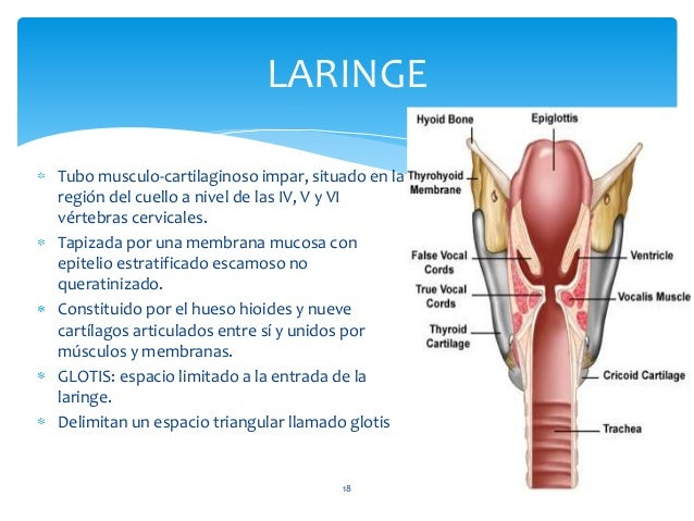 18 LARINGE Tubo musculo-cartilaginoso impar, situado en la región del cuello a nivel de las IV, V y VI vértebras cervicale...
