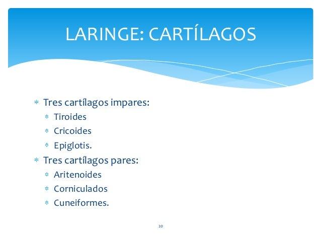 20 LARINGE: CARTÍLAGOS Tres cartílagos impares: Tiroides Cricoides Epiglotis. Tres cartílagos pares: Aritenoides Cornicula...