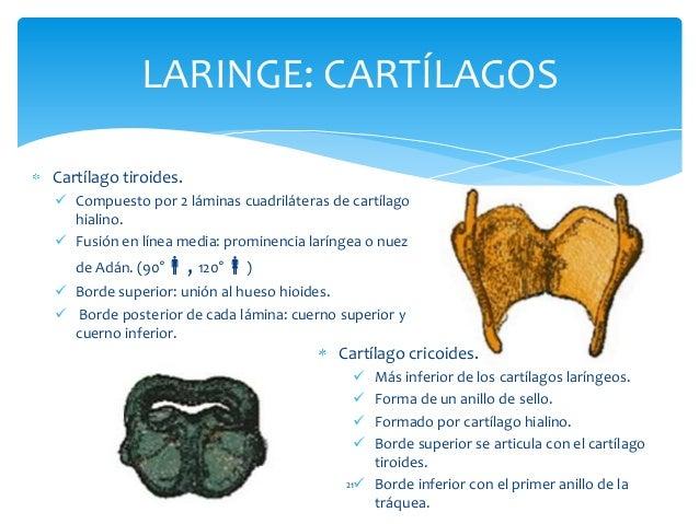 Cartílago tiroides.  Compuesto por 2 láminas cuadriláteras de cartílago hialino.  Fusión en línea media: prominencia lar...