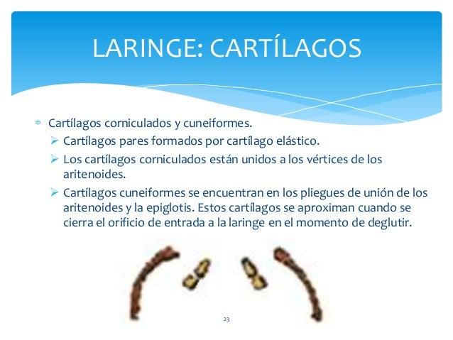 Cartílagos corniculados y cuneiformes.  Cartílagos pares formados por cartílago elástico.  Los cartílagos corniculados e...