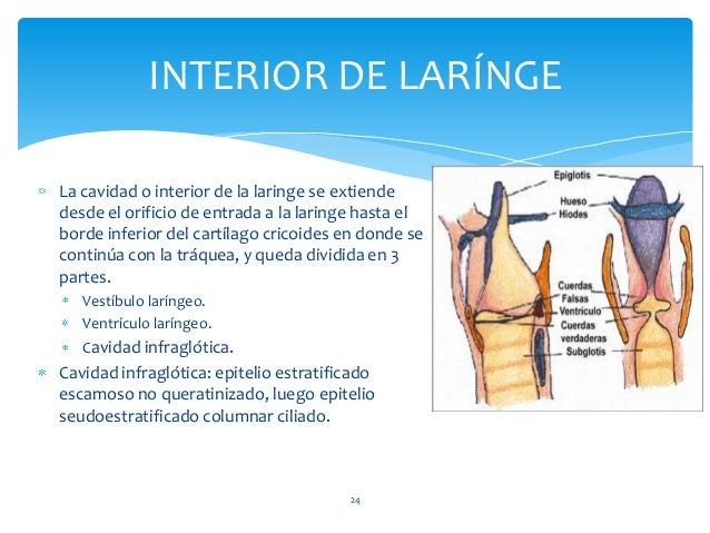 La cavidad o interior de la laringe se extiende desde el orificio de entrada a la laringe hasta el borde inferior del cart...