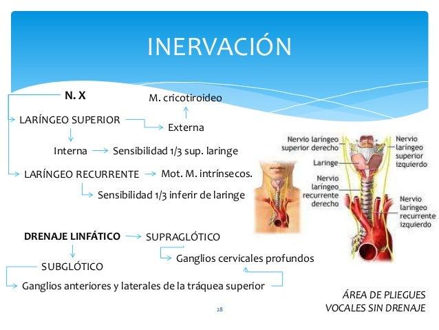 28 INERVACIÓN N. X LARÍNGEO SUPERIOR Externa Interna M. cricotiroideo Sensibilidad 1/3 sup. laringe LARÍNGEO RECURRENTE Mo...