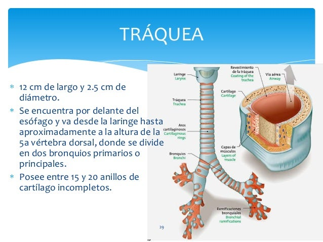 12 cm de largo y 2.5 cm de diámetro. Se encuentra por delante del esófago y va desde la laringe hasta aproximadamente a la...