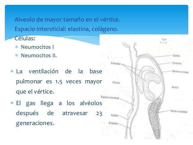 Alveolo de mayor tamaño en el vértice. Espacio intersticial: elastina, colágeno. Células: Neumocitos I Neumocitos II. La v...
