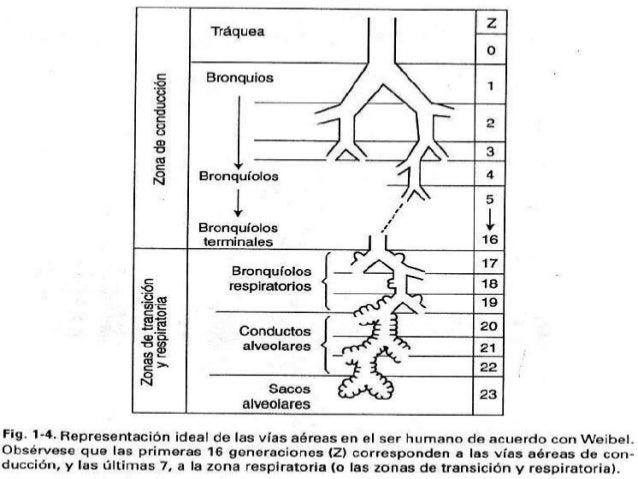 http://www.coheadquarters.com/PennLibr/MyPhysiology/lect0p/lect0.04.htm