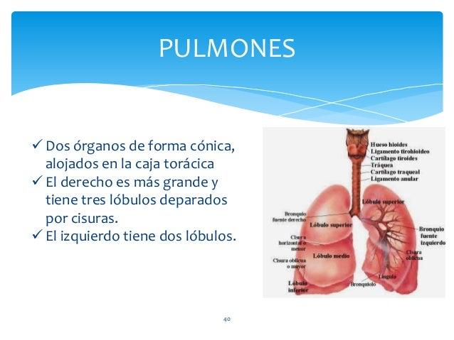 La caja torácica, dada por la columna vertebral (parte del segmento cervical y el segmento dorsal en su totalidad), las cl...