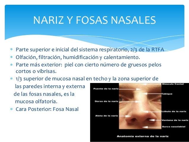 NARIZ Y FOSAS NASALES 7 Parte superior e inicial del sistema respiratorio, 2/3 de la RTFA Olfación, filtración, humidifica...