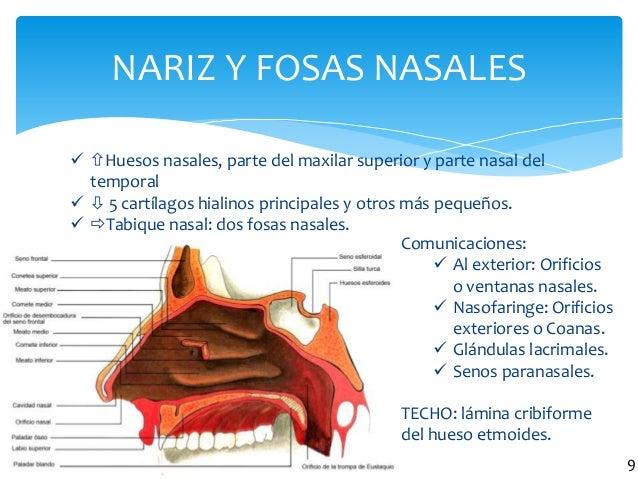 NARIZ Y FOSAS NASALES 8  Huesos nasales, parte del maxilar superior y parte nasal del temporal   5 cartílagos hialinos...
