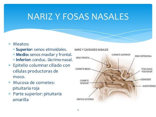 Meatos: Superior: senos etmoidales. Medio: senos maxilar y frontal. Inferior: conduc. lácrimo-nasal. Epitelio columnar cil...