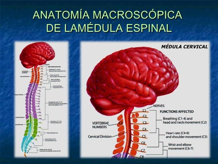 Bonito Cuál Es La Anatomía Macroscópica Viñeta - Anatomía de Las ...